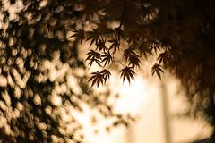東京の秋 2016年 05 (sunuq) Tags: ペッツバール ロモグラフィ lomography zenit petzval japan 日本 canon eos 5dsr bokeh ボケ tokyo 東京 小石川後楽園 文京区 紅葉 plant tree