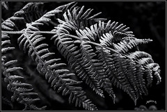 Frost. (Picture post.) Tags: fern frost monochrome nature green macro