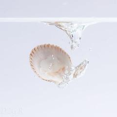 Back Home (YomDom) Tags: muschel shell shellfish sea water wasser fall fallen splash spritzer drop flash blitz strobist fotografie photography