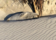 camouflage (BrigitteE1) Tags: camouflage helgoland inselhelgoland heligoland islandheligoland nordsee northsea germansea tarnung robbe seal sattelrobbe saddlebackseal baby pup robbenbaby sealpup sand strand beach sunnyday