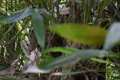 遠くからこちらを見ているターシャ (Mr. and Mrs. Manpuku) Tags: フィリピン tarsier