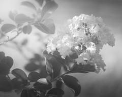 Fading into the Past (Charles Opper) Tags: canon monochromebokehthursday wollensak wollensakperfexvelostigmat50mmf35 blackandwhite bokeh crapemyrtle flower light monochrome nature soft vintage vintagelens midway georgia unitedstates summer