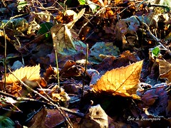 2016-12-27 Beaurepaire (59)bois leaves (april-mo) Tags: leaves leaf feuille frosted frost gel deadleaves autumnleaves