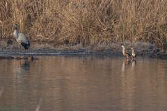 Flickr-4114 (fix.68) Tags: gruecendrée oiseau ouettedelorénoque