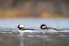 Bufflehead Pair (PhillymanPete) Tags: hen bufflehead drake johnheinznwr wildlife nature heinz waterfowl water pair tinicum bird duck heinznwr sharonhill pennsylvania unitedstates us nikon d7200
