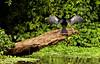 Vain But In Vain. (zimbart) Tags: costarica centralamerica tortuguero fauna vertebrata birds suliformes anhingidae anhinga anhingaanhinga