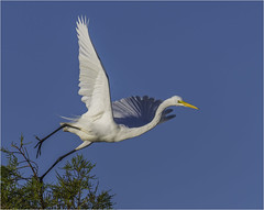 Great Egret ( Moment of Take Off ) (billkominsky ) Tags: naturethroughthelens