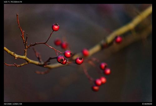 Berries - 70-210mm