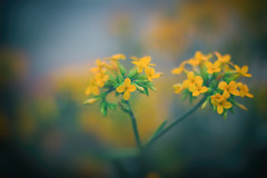Come in from the cold (A Great Capture) Tags: eos digital dslr natur nature naturaleza natura naturephotography naturethroughthelens flora flower bloom blossom blur bokeh vibrant colorful cheerful vivid bright fog foggy yellow orange fleur warm warmth green 50mm