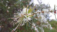 Hakea sericea (Tony Markham) Tags: hakeasericea hakea needlebush dew proteaceae dharawalnationalpark dharawal 10b 10bfiretrail xmas xmasday christmasday christmas sunrise