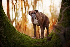 Entrance to wonderland (Tamás Szarka) Tags: dog pet animal puppy outdoor nature forest nikon autumn boxerdog boxer