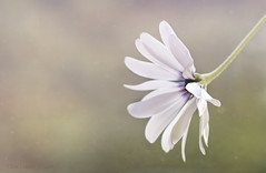 Simple is best ;o) (Elisafox22 down and out with Shingles /0\) Tags: elisafox22 sony ilca77m2 100mmf28 macro macrolens telemacro simplepleasures daisy capedaisy flower hbw white bokeh texture textured elisaliddell©2016