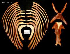 Ribs sternum hyoid (JRochester) Tags: rissos dolphin grampus griseus ribs sternum hyoid nmsz199377