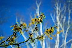 Winter Sunburst (daisyglade) Tags: winter colour yellow witchhazel positivethinking woodlandwalk makeyourownsunshine silverbirch trees ghostly