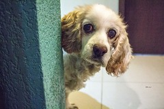 RULE OF THIRDS (Ángeles M) Tags: cockerspaniel femaledog perrita mascota animal pet dog dogwood2017week1 infocus highquality dogwood2017