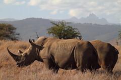 Mont Kenya et Rino blanc. (aracobis) Tags: rhinoceros kenya bigfive sauvage corne