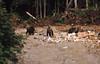 Grizzly bears (Pierre♪ à ♪VanCouver) Tags: britishcolumbia wakemansound loggingcamp ursusarctoshorribilis grizzli ours 熊 bear canada orso orsi bears oso osos bär bären kanada scannedslide 35mmfilm