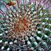 A Fishhook Barrel Cactus in the Javelina Rocks Area