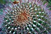 A Fishhook Barrel Cactus in the Javelina Rocks Area (thor_mark ) Tags: nikond800e saguaronationalpark saguaronationalparkrinconmountaindistricteast lookingnorth day1 capturenx2edited colorefexpro desert desertlandscape sonorandesert outside landscape nature desertplantlife cactusforestscenicloopdrive cactusforestdrive javelinarocks javelinarocksarea fishhookbarrelcactus ferocactuswislizenii project365 arizona unitedstates