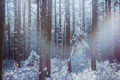 Helios flare (reclaimednj) Tags: tuckerton newjersey unitedstates us zenithelios44m458mmf2 bassrivertownship bassriverstateforest nj 2017 forest winter snow