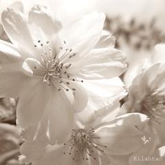Remember spring (nathaliedunaigre) Tags: sépia blossoms fleursdecerisiers fleurs détails details macro carré square flowers spring printemps quiet pureté purity