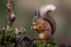 Red Squirrel (Simon Stobart (Away for a Week)) Tags: red squirrel eating log moss wood
