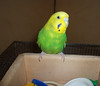 Putte - playing with his toys (2002) (robelot0) Tags: budgie old pictures 2002