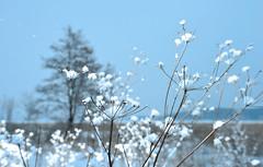 Snow White (Kojaniemi) Tags: tree snow snowfall landscape winter kimmoojaniemi january finland cowparsley alder ice nature naturephotgraphy landscapephotography sea