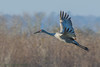 Paynes Prairie State Park La Chua Trail Sandhill Cranes 01-10-2017 (15 of 82) (Jerry's Wild Life) Tags: alachua alachuacounty crane cranes florida gainesville paynesprairie paynesprairiestatepark sandhill sandhillcrane sandhillcranes sandhills