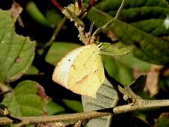 Mexican Yellow (d_taron) Tags: mexico michoacán butterflies pieridae coliadinae eurema euremamexicana