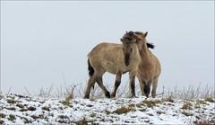 Konik horses in the snow (daaynos) Tags: hoeksewaard de hoekschwaard landscape wild horses konikhorses