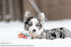 Her Ball (Kenjis9965) Tags: canoneos7dmarkii canon70200f28l canon ef 70200mm f28l is usm ii 7d mark cardigan welsh corgi puppy snow winter outside ball playing having fun running staring blue merle eyes contrast eos