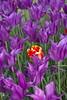 _DSC0797 (Riccardo Q.) Tags: parcosegurtàtulipani places parco altreparolechiave fiori tulipani segurtà