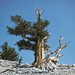 ancient bristlecone pine, Pinus longaeva