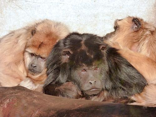 Paphos Zoo - howler monkeys (2)