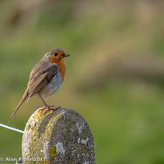 A perfect Robin (PapaPiper) Tags: wickwar england unitedkingdom robin britishbirds gardenbirds allnaturesparadise