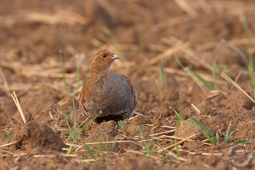 Rebhuhn - Grey partridge - Perdix perdix
