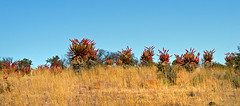 red flowering aloe marlothii  - utrecht, south africa 9 (Russell Scott Images) Tags: xanthorrhoeaceae asphodeloideae southafrica aloemarlothii red flowering russellscottimages