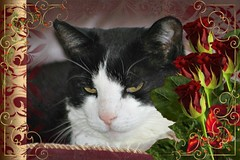 Charles Framed With Red Roses 002 (Chrisser) Tags: cats ontario canada nature animal animals cat ourcatcompanions crazyaboutcats kissablekat kissablekats bestofcats kissablekitties kissablekitty loonapix canoneosrebelt1i bicolouredshorthaired canonef75300mmf456iiiusmlens