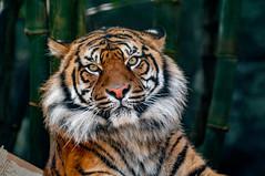 Sumatran Tiger (ArcticZeppelin) Tags: wild nature animals stripes wildlife tiger bigcat sumatrantiger predator mammals tigerstripes carnivore wildanimals pantheratigrissumatrae