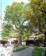 Gewone plataan - Platanus hispanica - London plane tree (MrTDiddy) Tags: plant tree london plane zoo boom platanus antwerp hybrid antwerpen zooantwerpen plataan × hybride acerifolia hispanica gewone