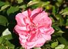 05-IMG_4221 (hemingwayfoto) Tags: rose flora pflanze blume blüte stadtpark verblüht botanik blühen duftend edelrose rosengewächs arosia