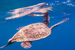 #carefortheocean (Dario de Falco) Tags: indonesia asia turtle lombok animali oceano carapace rettile giliair