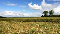Zeit der Reife / Pumpkin field (miramann) Tags: schweiz cornfield herbst feld felder luzern himmel wolken mais blau bume krbisse ernte 2632 maisfeld pumpkinfield beromnster erntezeit miramann krbisfeld