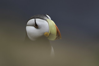 Horned Puffin - St. Paul Island