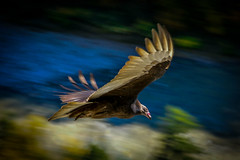 Vulture Flyby-3326 (RG Rutkay) Tags: bird nature animal fly movement wildlife flight letchworthstatepark gorge newyorkstate vulture panning thermal turkeyvulture
