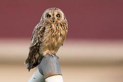 Short-eared owl (Andy Davis Photography) Tags: canon eyes owl perched shortearedowl asioflammeus