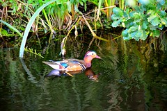 Mandarin Duck (Michiel2005) Tags: holland bird netherlands animal leiden duck nederland mandarinduck dier animalplanet eend vogel merenwijk mandarijneend