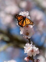 Joys of Spring (Jocey K) Tags: flowers newzealand christchurch sky butterfly spring botanicgardens bossom monachbutterfly