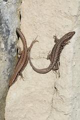 female (left) and male wall lizards, Podarcis muralis (one of three images) (willjatkins) Tags: macro reptile lizard lizards britishwildlife reptiles podarcis walllizard podarcismuralis sigma105mm nonnativespecies ukwildlife uklizard dorsetwildlife nonnativelizards nonnativewildlife macrowildlife britishlizards britishreptilesandamphibians uklizards britishlizard nikond7100 ukamphibiansandreptiles ukreptilesandamphibians nonnativereptiles britishamphibiansandreptiles dorsetreptiles dorsetlizards ukherpetofauna dorsetlizard